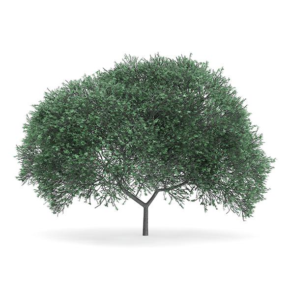 English Oak (Quercus robur) 10.7m - 3DOcean Item for Sale