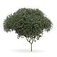 Sycamore Maple (Acer pseudoplatanus L.) 9.5m