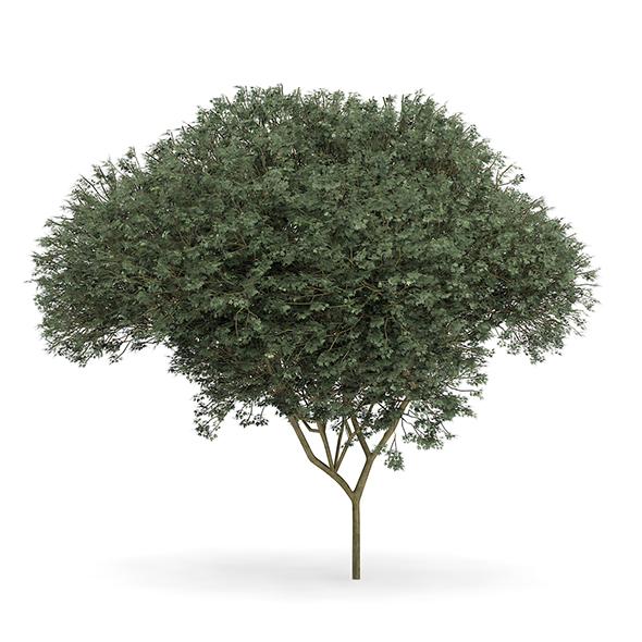 Sycamore Maple (Acer pseudoplatanus L.) 9.5m - 3DOcean Item for Sale