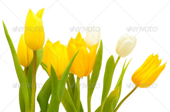 Tulips - Stock Photo - Images