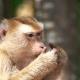 Monkey Eating Potato Chips