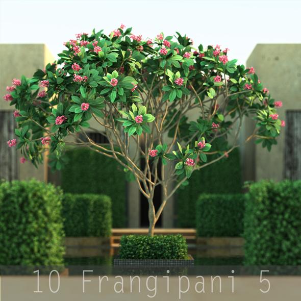 10 Frangipani 5 - 3DOcean Item for Sale