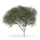 Sycamore Maple (Acer pseudoplatanus L.) 14.3m
