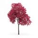 Palmate Maple (Acer palmatum) 8.5m