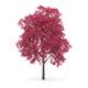 Palmate Maple (Acer palmatum) 10m