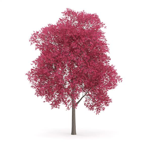 Palmate Maple (Acer palmatum) 10m - 3DOcean Item for Sale