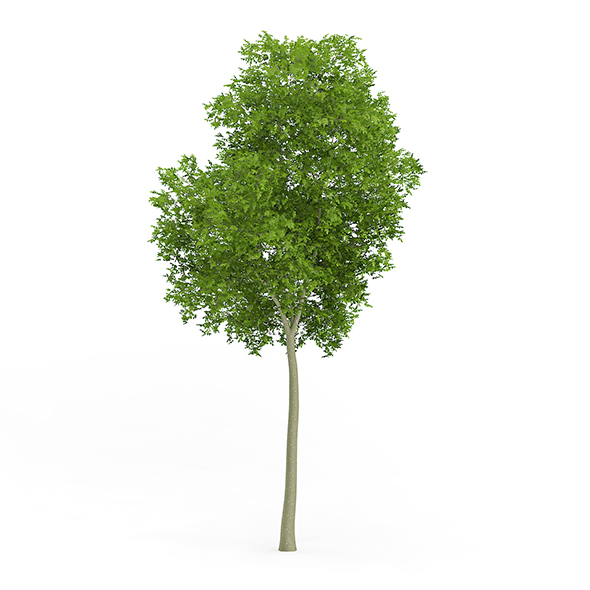 Common Beech (Fagus sylvatica) - 11m - 3DOcean Item for Sale