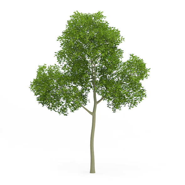 Common Beech (Fagus sylvatica) 13.5m - 3DOcean Item for Sale