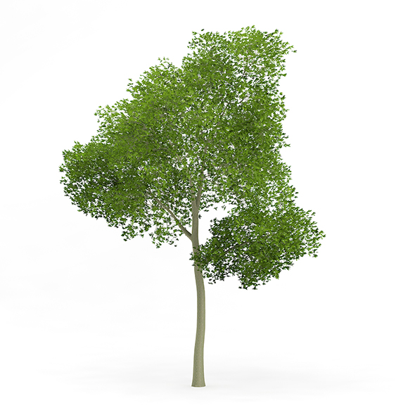 Common Beech (Fagus sylvatica) 15.5m - 3DOcean Item for Sale