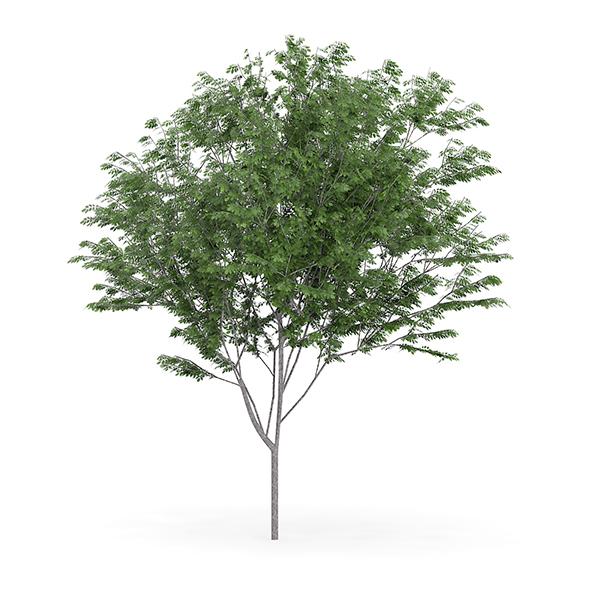 Common Ash (Fraxinus excelsior) 13m - 3DOcean Item for Sale