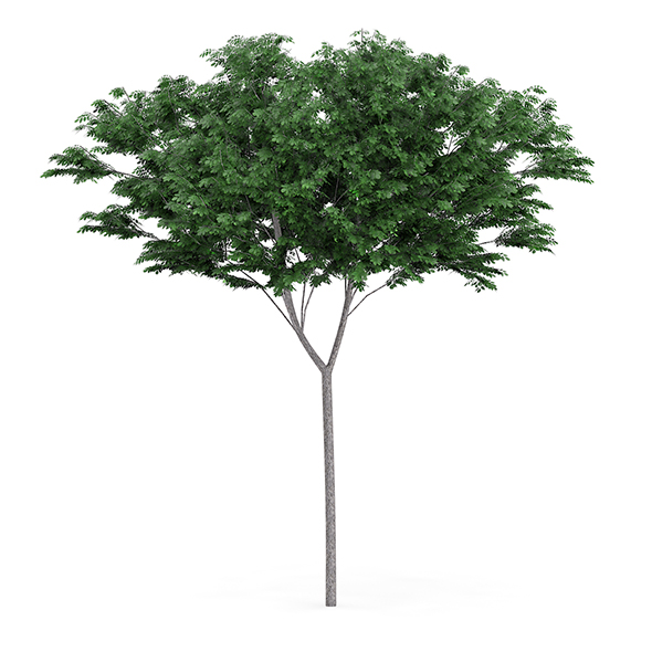 Common Ash (Fraxinus excelsior) 13.3m - 3DOcean Item for Sale