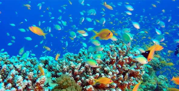 VideoHive Beautiful Underwater Colorful Reef Fishes 19052737