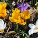 Flowering crocus - PhotoDune Item for Sale
