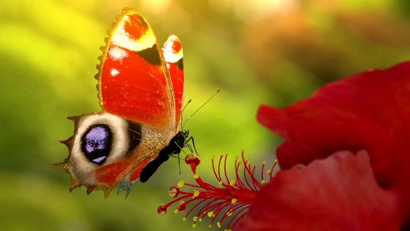Butterfly Logo (Nature) After Effects Templates | F5-Design com