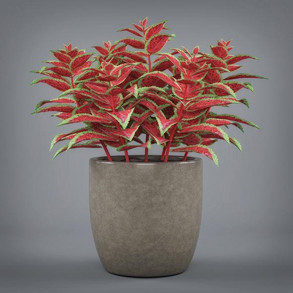 Potted Coleus Plant - 3DOcean Item for Sale