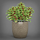 Potted Green Coleus Plant