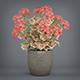 Potted Pelargonium Plant