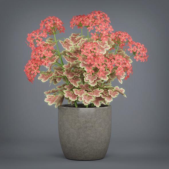 Potted Pelargonium Plant - 3DOcean Item for Sale