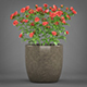 Potted Rose Plant