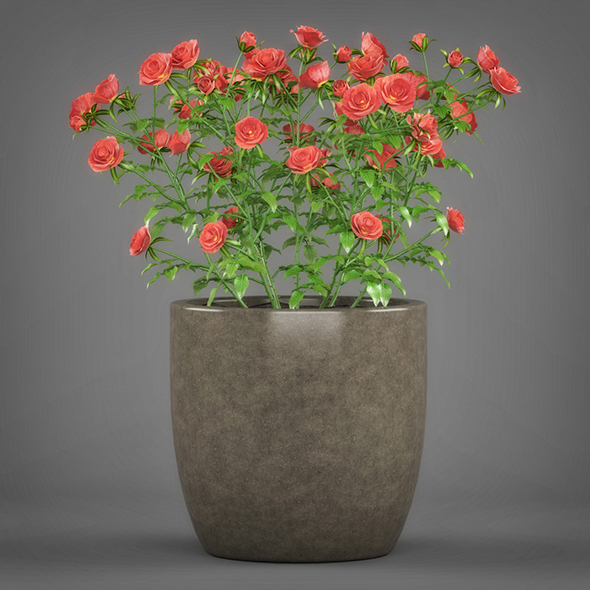 Potted Rose Plant - 3DOcean Item for Sale