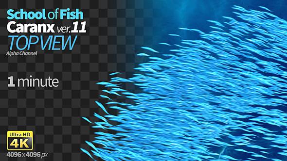VideoHive School of Fish Caranx-11 19615993
