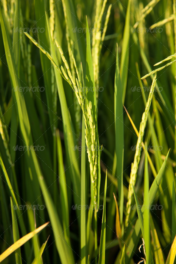 In the rice fields. - Stock Photo - Images