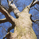 Sycamore tree  - PhotoDune Item for Sale