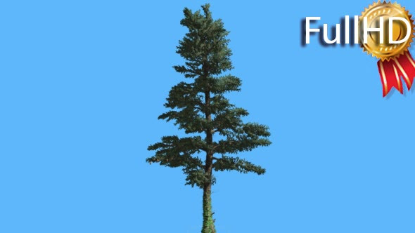 VideoHive White Fir Thin Trunk and Branches Coniferous 19644183
