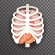 Rib Cage and Organs