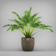Potted Kentia Palm Plant