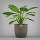 Potted Arrowhead Plant