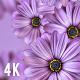 Purple Daisy Flowers Background 4K