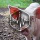 Pigs Eat Loop