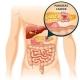Cartoon Digestive Human Organs Concept