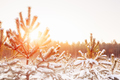 Sunset Sunrise In Sunny Winter Snowy Forest. Sun Shine Over Wint