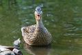 Female mallard duck cry