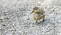 Mallard duckling walking on stones
