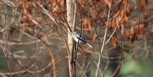 Oriental Magpie Robin Full HD I