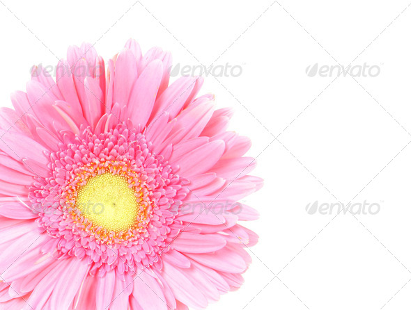 Flower pink gerbera isolated - Stock Photo - Images