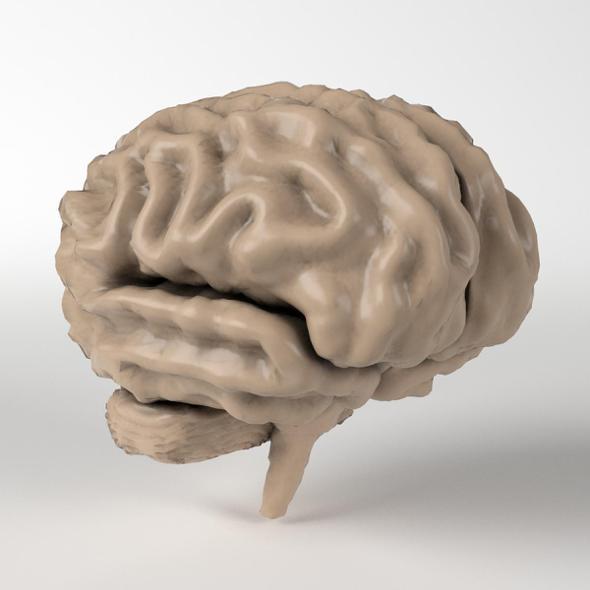 Anatomy - Human Brain 2 - 3DOcean Item for Sale