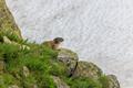Alpine marmot (Marmota marmota) in the French Alps