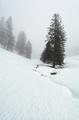 spruce trees in dense winter fog