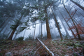 foggy coniferous forest