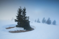 spruce trees in snow and fog
