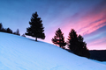 spruce trees on snowy hill at sunrise