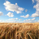 Download wheat field and blue sky from PhotoDune