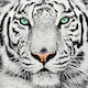WhiteTiger_Production
