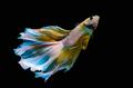 Betta Siamese aquarium fighting fish In the rainbow colors