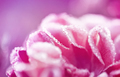 Close-up of rose flower with dew drops