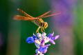 Dragonfly on blue flower in the garden